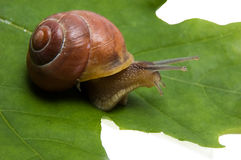 Snail. With spiral shell on green leaf Royalty Free Stock Photography