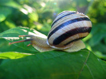 Snail. On a leaf in solar beams Stock Images