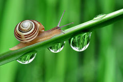 Snail. Closeup Snail on dewy grass Stock Photography
