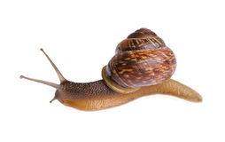 Snail. Isolated on white background Stock Photos