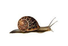 Free Snail Stock Photo - 15133040
