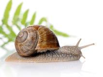 Free Snail Stock Photo - 15253980