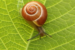 Snail. Small snail on a leaf green Royalty Free Stock Photo