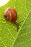Snail. Small snail on a leaf green Stock Photo