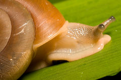 Snail. Macro of a Snail Royalty Free Stock Photography