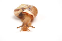 Snail. Funny snail ,isolated on white background Stock Photo