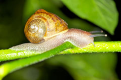 Free Snail Royalty Free Stock Photo - 16498225