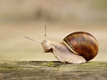 Snail. Macro photo of rising up land snail Stock Image