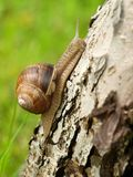 Snail. Macro photo of rising up land snail Royalty Free Stock Photo