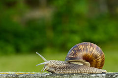 The snail Royalty Free Stock Image