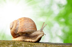 Snail. Garden snail (Helix aspersa) on wood Royalty Free Stock Photography