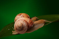 Snail. Sitting on the big green leaf Stock Images