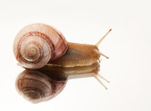 Snail. Crawling on the mirror Royalty Free Stock Image