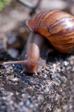 Snail 2 Royalty Free Stock Image