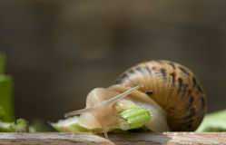 Snail #2 Stock Images