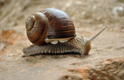 Snail. Large type snail on stone at year day Stock Images