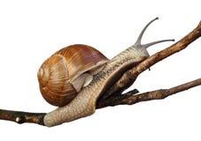 Free Snail Royalty Free Stock Photos - 20641528