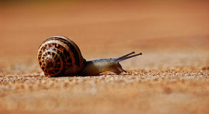Snail. A tiny snail walking by Stock Images