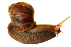 Snail. Royalty Free Stock Photos