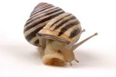 Free Snail Royalty Free Stock Photo - 2393655