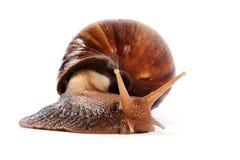 Snail. Akhatin's snail on a white background Royalty Free Stock Photos