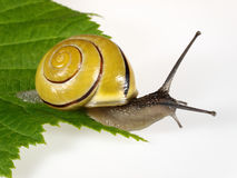 Snail. Yellow and black snail sliding on a sheet stock photography