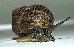 Snail. Slow Snail stock photography