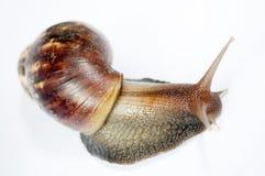 Snail Stock Photos