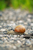 Snail. Photo of snail crossing the road Stock Photo