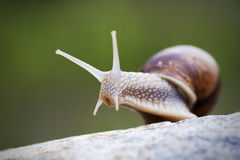 Snail. Look around on the rock stock images