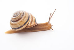Snail. Little snail isolated on white background Stock Photos