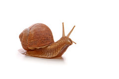 Snail  isolated on white background. Stock Photo
