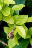 Snail. A snail on green leaves,after rain Stock Photo