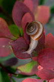 Snail. A snail on red leaves,after rain Royalty Free Stock Photo