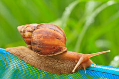 Snail. Close-up of snail walking on the net; also known as Roman snail, edible snail or escargot royalty free stock photos