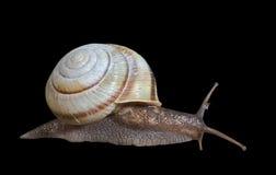 Snail 29 Stock Photo