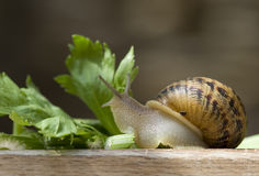 Snail #3 Royalty Free Stock Photography
