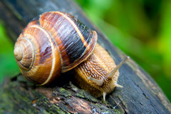 Snail 3. Snail in a Summer Garden. Close-Up Royalty Free Stock Images
