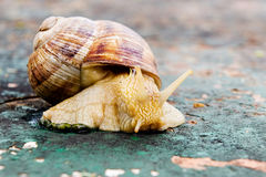 Snail. A snail posing on the old table with the body out the case Stock Images