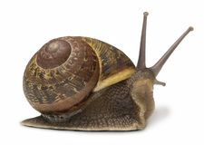 Free Snail Royalty Free Stock Photo - 3221975