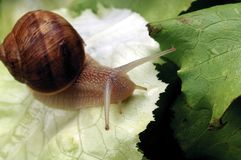 Snail. A snail on a leaf royalty free stock image