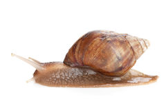 Free Snail Royalty Free Stock Images - 37679439
