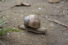 Snail Arkivfoton