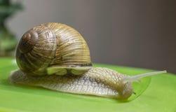 Snail arkivbild