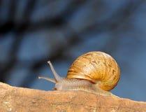 Snail. Moving along a rock in a backyard garden Royalty Free Stock Photography