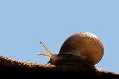 Snail. A garden snail moving along a rock against blue sky background Royalty Free Stock Images