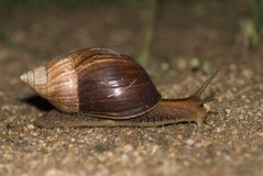 Snail. Is walking somewhere in South Africa Royalty Free Stock Photography
