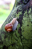 Snail. On a wet fig tree on a rainy day stock image
