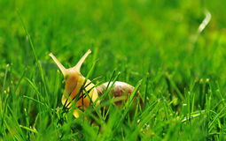 Snail. Is moving in green grass stock photos