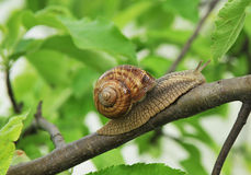Snail. On branch with green leafs stock image